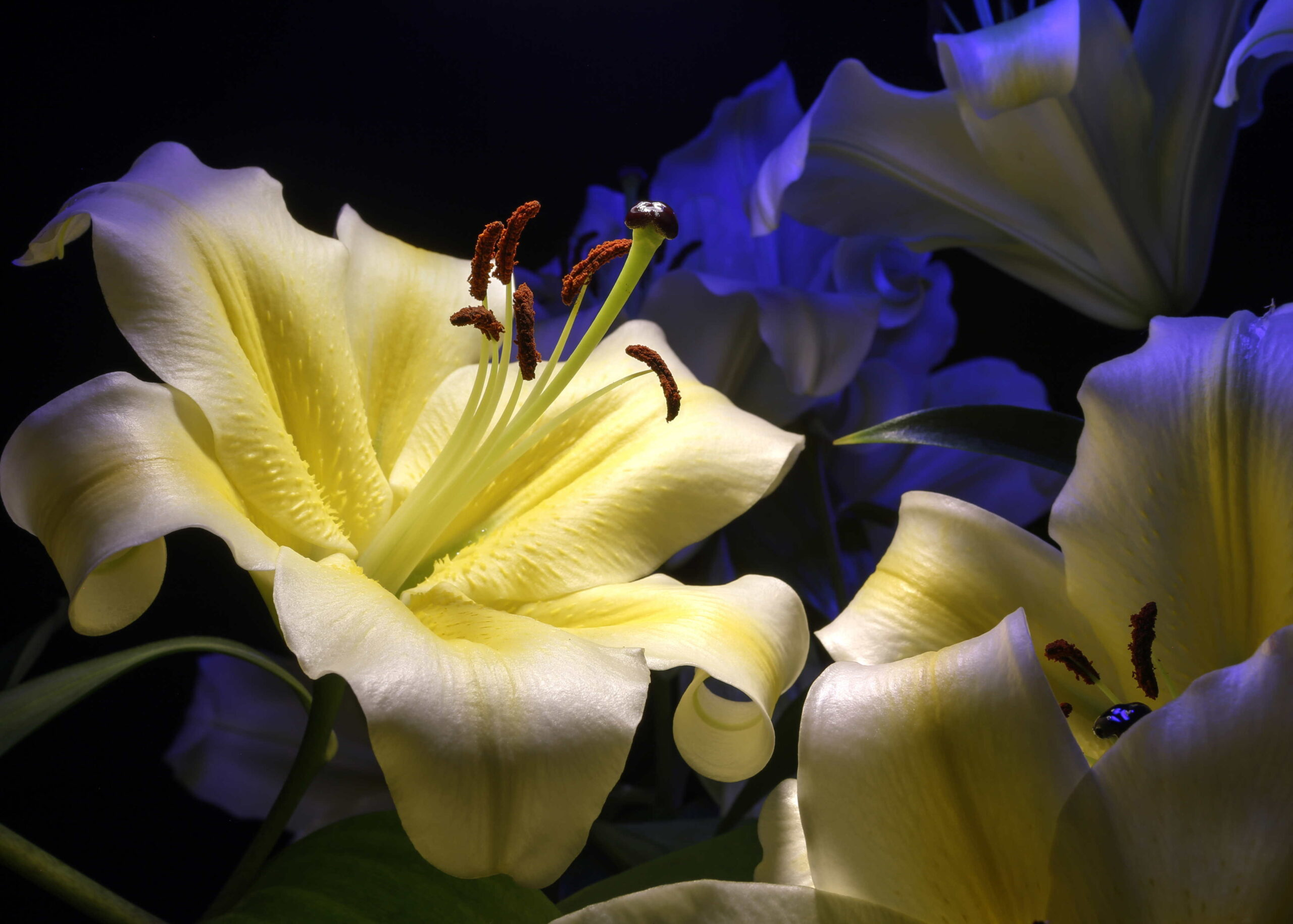 Lillies in Blue and Yellow
